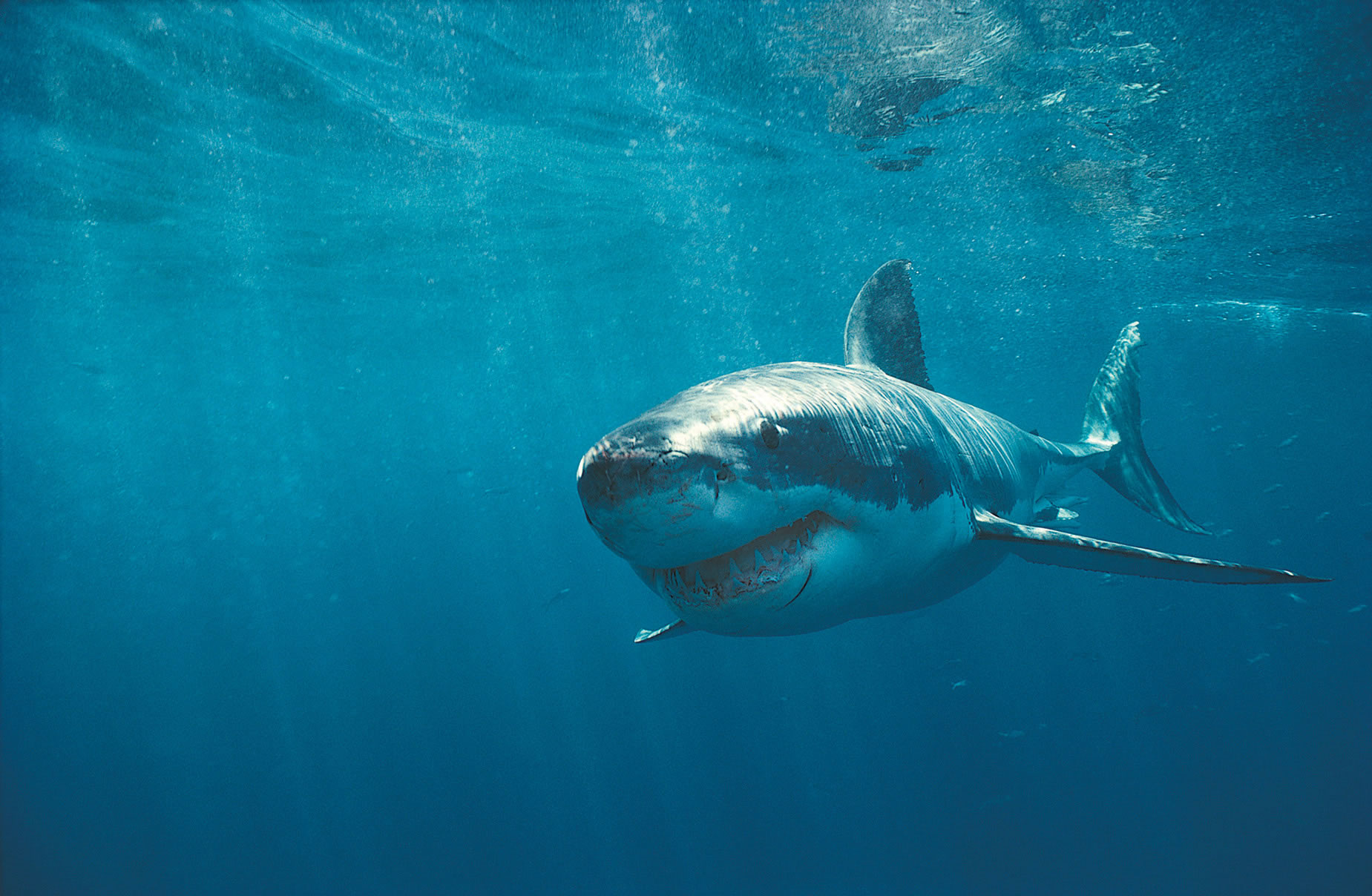 Get up close and personal with a Great White Shark