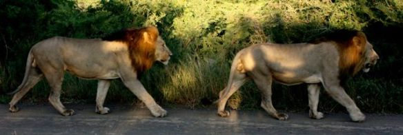 Two lions at Phinda Private Game Reserve, Kruger National Park