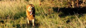 Aggressive lion at Phinda Private Game Reserve, Kruger National Park