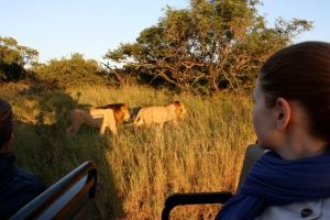 Lions seen on game drive at Phinda Private Game Reserve, Kruger National Park