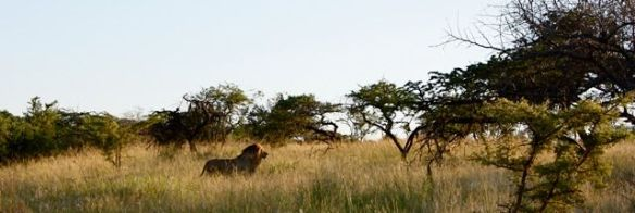 King of the Jungle at Phinda Private Game Reserve, Kruger National Park