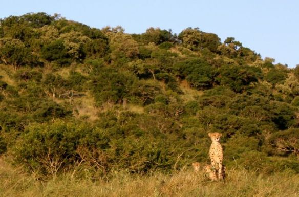 Cheetah spotted at Phinda Private Game Reserve, Kruger National Park