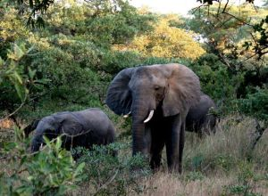 Elephants spotted at Phinda Private Game Reserve, Kruger National Park