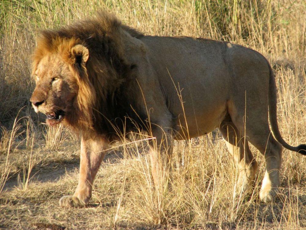 Lion at Dulini Lodge, Sabi Sands Game Reserve