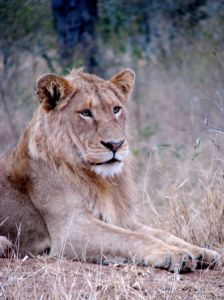 Lion spotted at Ngala Safari Lodge, Ngala Private Game Reserve