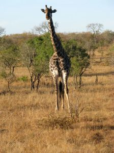 Giraffe seen during our game drive at Ngala Safari Lodge, Ngala Private Nature Reserve