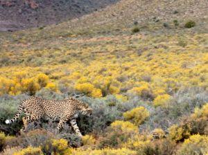 Sanbona Wildlife Reserve | Close encounter with hunting cheetah