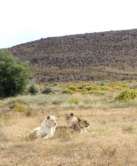Lions at Sanbona Wildlife Reserve