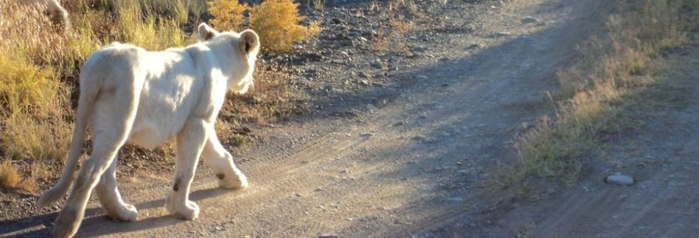 White lion cub at Sanbona Wildlife Reserve