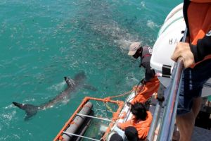 View Great White Sharks from the viewing deck if you fear getting into the water