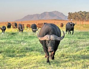 Buffalo at Bartholomeus Klip