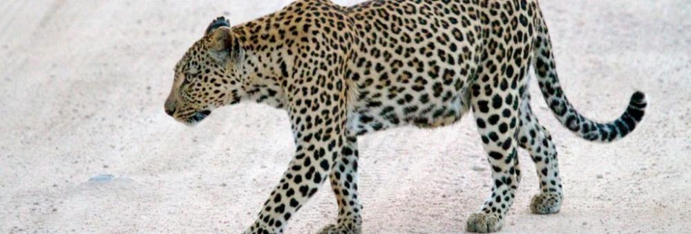 Leopard sighting at Singita Boulders Lodge