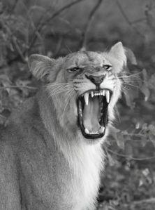 Lion at Kings Pool Safari Camp, Botswana