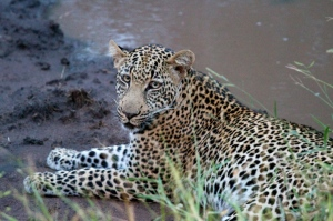 Leopard sighting at Singita's Lebombo Lodge