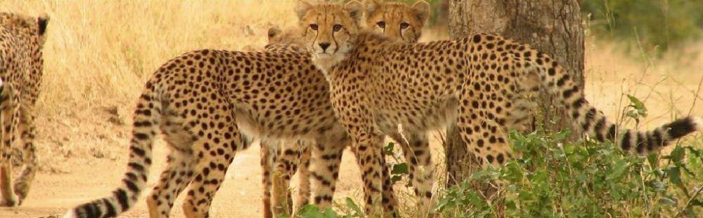 Monwana Lodge Cheetahs