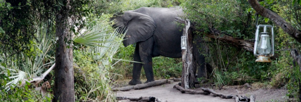 Elephant at Tubu Tree Camp, Okavango Delta, Botswana