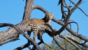 Leopard at Tubu Tree Safari Camp, Botswana