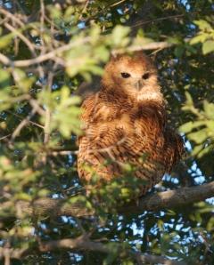 Owl at Xigera Camp, Botswana