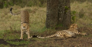 Cheetah brothers, Mara North Conservancy