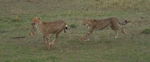 Cheetahs with kill, Rekero camp