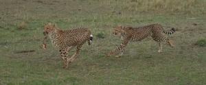 Cheetahs with kill, Rekero camp