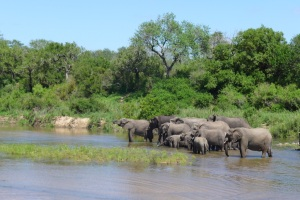 Big elephant herd on the Sand River, Londolozi