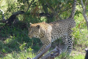 One of MalaMala's famous leopards