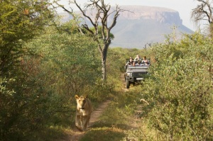 Lion sighting with classic Waterberg backdrop