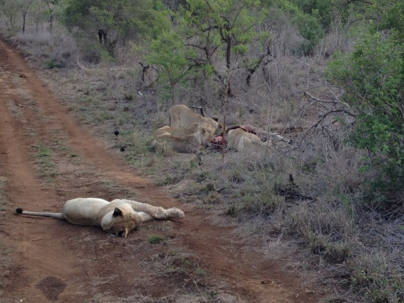 Lions on a kudu kill